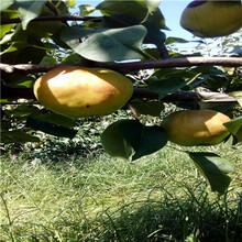 定植兩年的小梨樹出售電話滿天星紅梨苗出售電話圖片