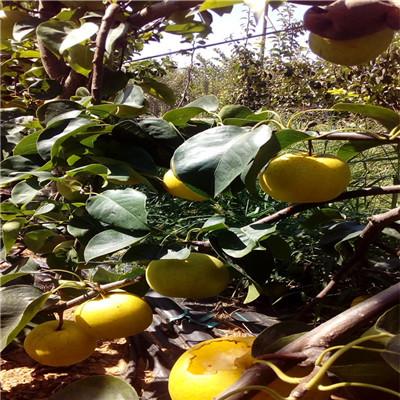 新品種梨樹苗多錢一棵 黃金梨樹苗多錢一棵