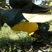新品種梨樹苗出售電話綠寶石梨樹苗出售電話圖片