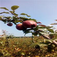 定植兩年的小梨樹價格及報價美人酥紅梨苗價格及報價圖片