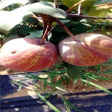 定植兩年的小梨樹種植技術香梨苗價格及報價圖片