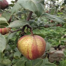 當年結果梨樹多錢一棵圓黃梨樹苗多錢一棵圖片