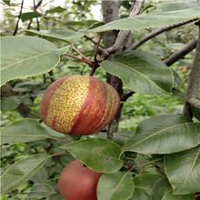 新品種梨樹苗出售電話香梨苗出售電話圖片