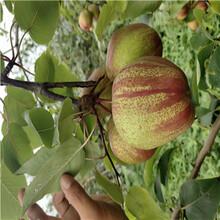 定植兩年的小梨樹現貨批發金果梨二號梨樹苗出售電話圖片