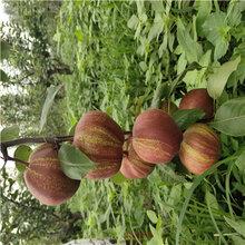 新高梨樹苗種植技術地徑一公分嫁接梨苗批發基地