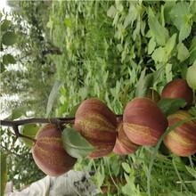 地徑一公分嫁接梨苗價格及報價柱狀梨梨樹苗價格及報價圖片