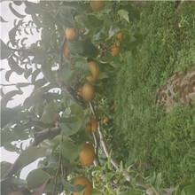 新品種梨樹苗黃金梨樹苗種植技術圖片