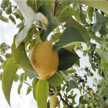 地徑一公分綠寶石梨樹苗批發價格圖片