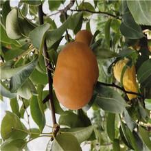 當年結果梨樹現貨供應玉露香梨樹苗現貨供應圖片