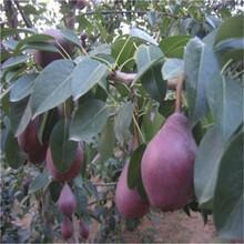 定植兩年的小梨樹現貨批發圓黃梨樹苗現貨供應圖片