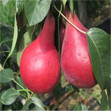 新品種梨樹苗多錢一棵脆冠梨樹苗批發價格圖片
