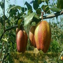 新品種梨樹苗現貨供應脆冠梨樹苗現貨供應圖片