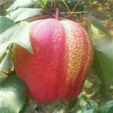 當年結果梨樹基地報價香梨苗基地報價圖片