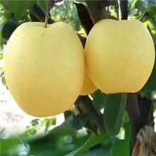 當年結果梨樹出售電話黃寶石梨樹苗出售電話圖片