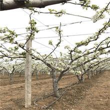 定植兩年的小梨樹多錢一棵梨樹實生苗批發價格圖片
