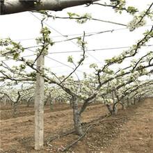 地徑一公分南水梨樹苗價格及報價圖片