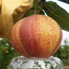 新品種梨樹苗多錢一棵綠寶石梨樹苗批發多錢圖片