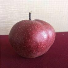 新品種梨樹苗脆冠梨樹苗價格及報價圖片