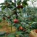 新梨7號梨樹苗當年結果梨樹一棵價錢