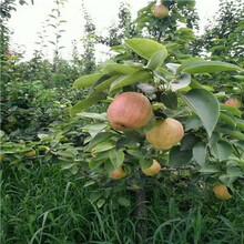新品種梨樹苗批發基地梨樹苗批發價格圖片