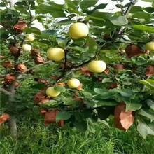 兩年生梨樹苗基地報價紅香酥梨樹苗基地報價圖片