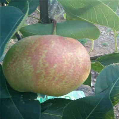 三公分梨樹價格及報價 柱狀梨梨樹苗價格及報價