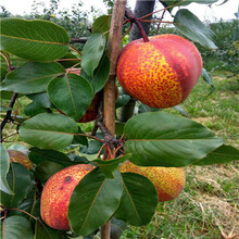 定植兩年的小梨樹批發多錢玉露香梨樹苗批發價格圖片