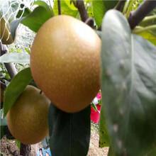 定植兩年的小梨樹現貨供應新高梨樹苗現貨供應圖片