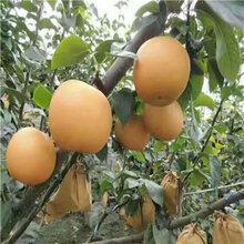 當年結果梨樹出售電話香梨苗現貨批發