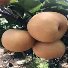 兩年生晚秀梨梨樹苗價格及報價圖片