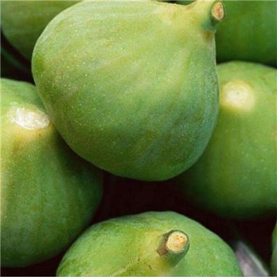 新品種無花果苗批發價格 蓬萊柿無花果苗基地報價