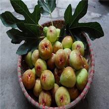 地徑一公分無花果苗出售電話紫果無花果樹苗現貨供應圖片