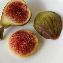 兩公分無花果苗種植技術綠果一號無花果苗種植技術圖片