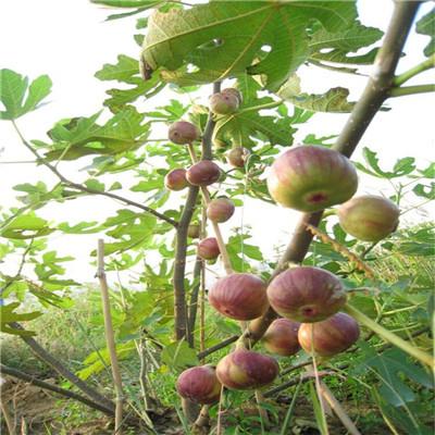 兩公分無花果苗種植技術 黃果無花果苗種植技術