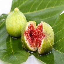 新品種無花果苗批發價格黃果一號無花果苗種植技術圖片