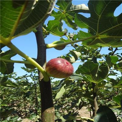 山東無花果苗基地現貨供應 綠果無花果苗種植技術