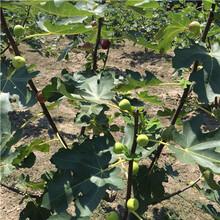 2020年無花果苗種植技術斯坦拉無花果苗種植技術圖片