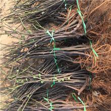 新品種無花果苗價格及報價中農寒優無花果苗種植技術圖片