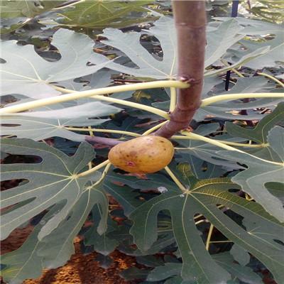 三公分無花果樹基地報價 紫果無花果樹苗種植技術