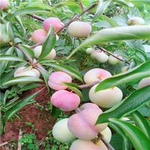 三公分以上李子樹成熟季節風味玫瑰李子苗批發價格圖片