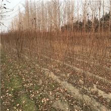 高度一米以上李子苗品種特色安格諾李子苗多錢一棵圖片