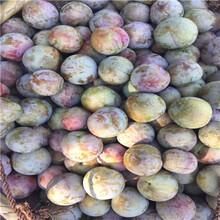 一年生嫁接李子苗品種特色早熟品種李子苗基地報價圖片
