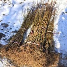 高度一米以上李子苗種植季節好布朗李子苗基地報價圖片