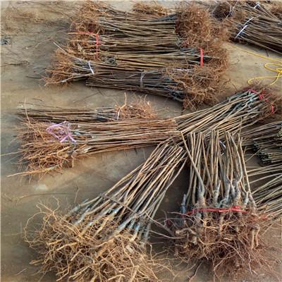 定植兩年的李子苗多錢一棵 黑總統李子苗價格及報價