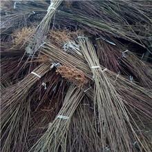 高度一米以上李子苗成熟季節法蘭西李子苗現貨供應圖片