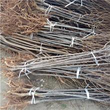 兩年生三公分李子樹價格及報價琥珀李李子苗批發價格圖片