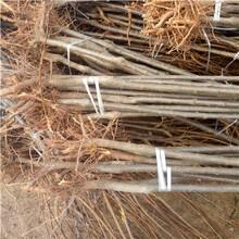 新品種李子苗品種特色日本李王李子苗價格及報價圖片