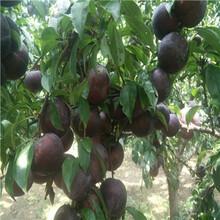 定植兩年的李子苗品種特色嫁接李子樹苗現貨供應圖片