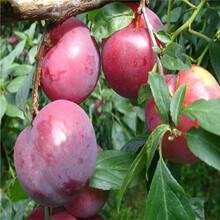 三公分以上李子樹種植季節好紅西梅李子苗出售電話圖片