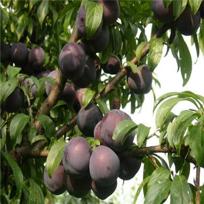 定植兩年的李子苗成熟季節 冰糖梨李子苗批發價格